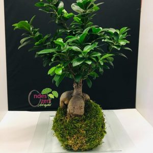 kokedama_ficus_paris_france